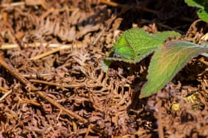A well camouflaged green hairstreak butterfly