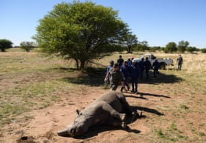 Workers rush trim the horn of a sedated black rhino.
