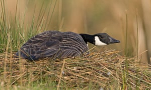 Canada goose sitting on a nest
