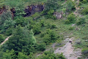 A Cantabrian brown bear ambles through the Somiedo natural park in Asturias, northern Spain.