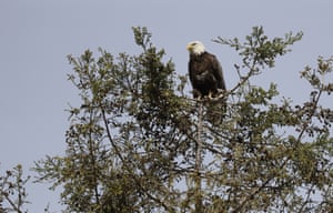 An bald eagle is perched atop a redwood tree in Milpitas, California. The birds, once endangered, have made a comeback in the San Francisco Bay Area. The local and national eagle boom is the pay-off for decades of environmental investment.