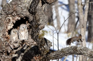 A red squirrel bounds away from its surprise discovery - a pair of Ural owls.