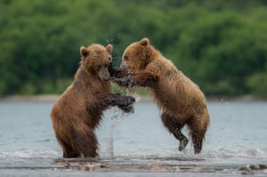 Kamchatka brown bears at Kurile Lake in Kamchatka Peninsula volcanic terrain, Russia
