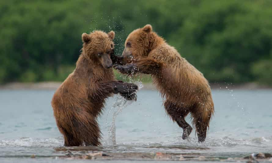 Kamchatka brown bears, which live in Russia's far east.