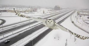 A snowy owl flies towards a road surveillance camera on Highway 40, Montreal, Canada