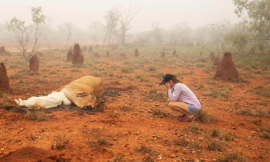 Cattle killed by flood waters in Queensland, Australia in February 2019. Photo by Jacqueline Curley. Handout to Guardian Australia.