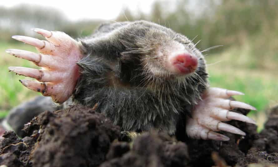 Emerging mole