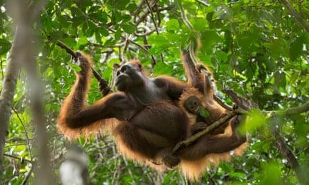 An 11-month-old Bornean orangutan wurmbii plays with a leaf