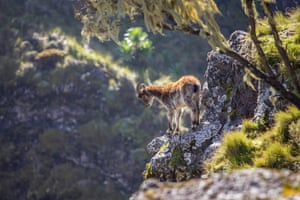 A Walia Ibex in the Simien Mountains