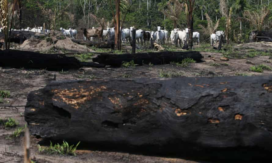 Cattle are seen near burnt trees in Jamanxim National Forest, in the Amazon near Novo Progresso, Para state, Brazil 10 September 2019.