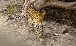 A leopard at Stony Point.
