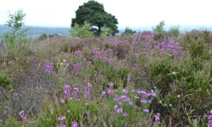 Ashdown Forest heather in bloom