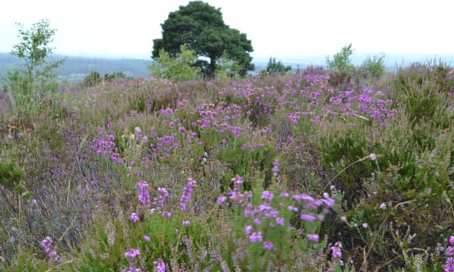 Ashdown Forest heather in bloom