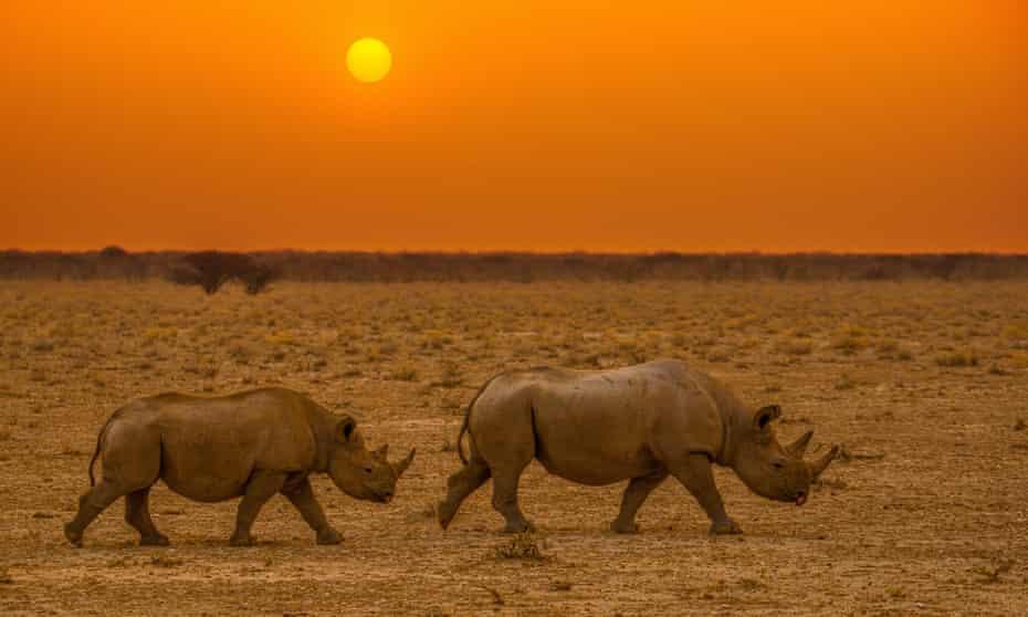 Black rhinos traverse the semi-arid wilderness of northern Namibia