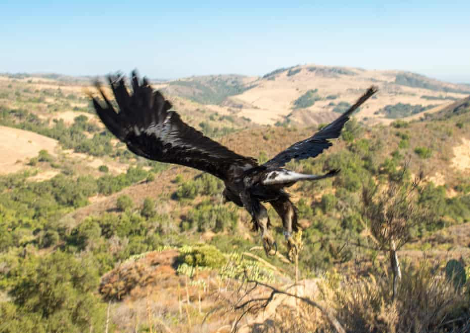 A juvenile male golden eagle flies back into the wild at the Starr Ranch Sanctuary after being released on Friday, July 1, 2016.