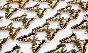 Butterflies from the Natural History Museum