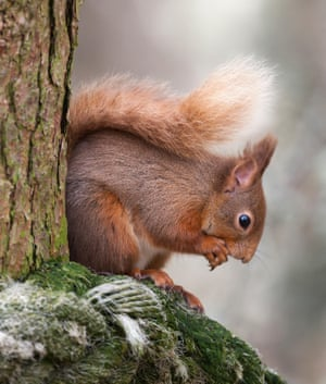 'Only 140,000 are left in the UK, from an original population of 3.5m': a red squirrel.