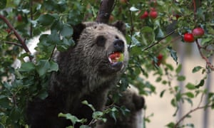 A grizzly bear cub eats apples in a tree a few miles from the north entrance to Yellowstone National Park in Wyoming.