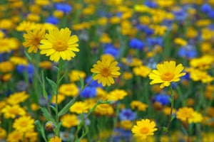 The increased use of herbicides and other agricultural changes over many decades have caused a massive decline in corn marigolds (Chrysanthemum segetum)