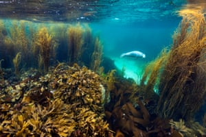 Coast & marine overall winner: Seal in Seaweed Garden, Isle of Coll, Inner Hebrides, Argyll and Bute by Alex Mustard from Peterborough, Cambridgeshire