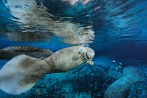 Florida Manatees in Three Sisters Spring on Crystal River in Florida
