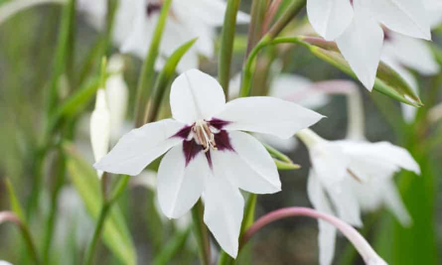 Gladiolus Abyssinian.