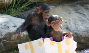 Chimpanzees at Tarongo Zoo in Sydney enjoy gift-wrapped food treats.