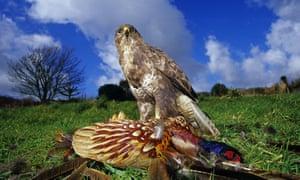 A buzzard pins down a dead pheasant.