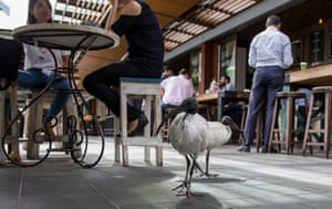 Ibises, up to no good, skulk around a cafe in Sydney