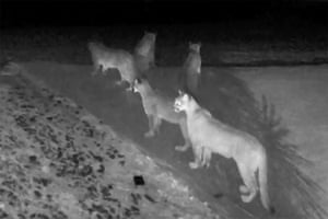 Five California mountain lions are seen together on surveillance video footage taken at Chris Breutsch's home in Pioneer, California