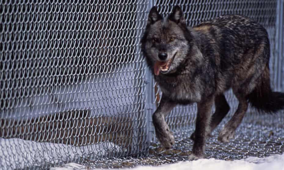 Wolf No 9 in Rose Creek pen, 1996.