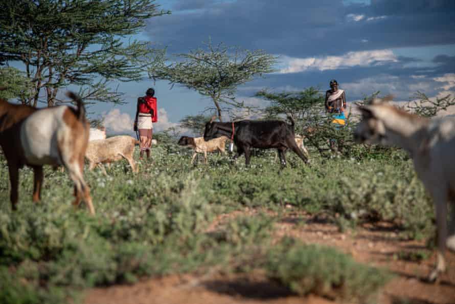 Grazing goats Kenya