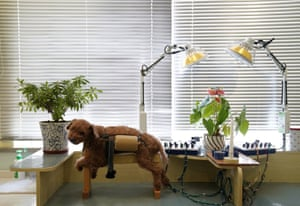 A dog awaits treatment