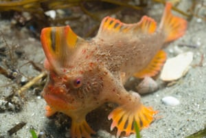 A rare red handfish in Tasmania