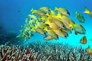 A school of fish stay close to another as they hoover over partially bleached staghorn coral on the Great Barrier Reef.