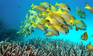 A school of fish hover over staghorn coral on the Great Barrier Reef in Australia.