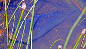 Carp, almost aground in the shallows of the flooded quarry