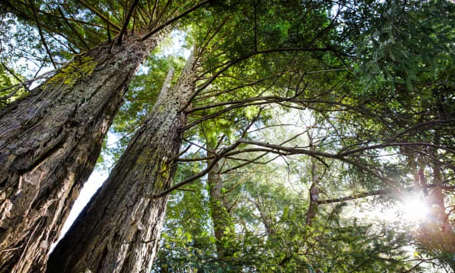 Redwood trees in Guerneville, California.