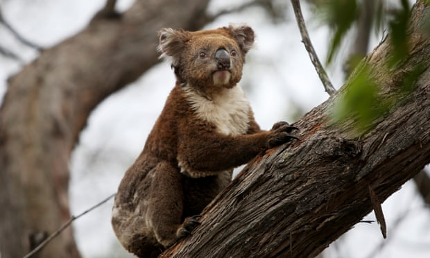 'Sliding towards extinction': koala may be given endangered listing as numbers plummet