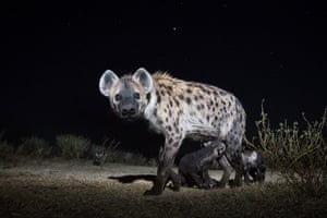 A group of baby spotted hyenas emerge from their den in Liuwa Plain national park in Zambia