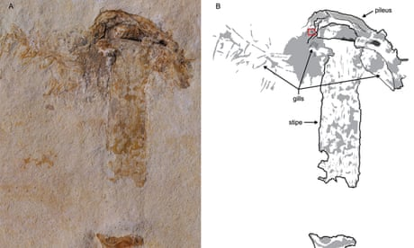 Fossil mushroom discovered from the era of the dinosaurs