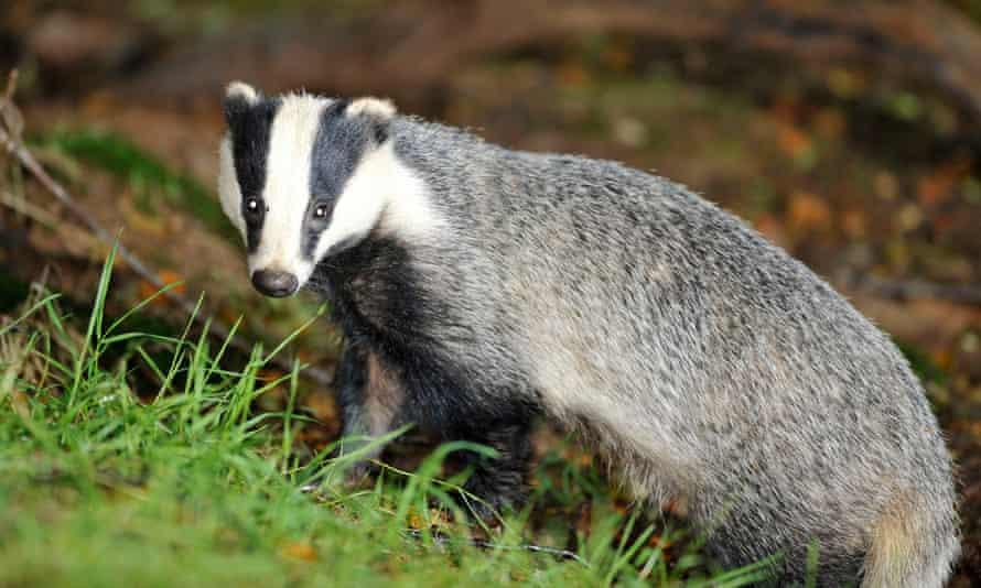 Wild badger