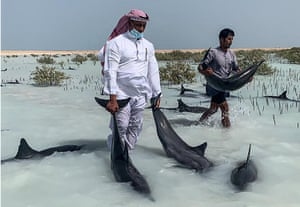 Saudi volunteers guide stranded dolphins by hand to move them from shallow sandy beaches into deeper waters, in Khor al-Thuqba in the Umluj region on the Red Sea