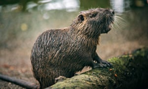 Nutria, also known as a swamp rat, is a semi-aquatic rodent.