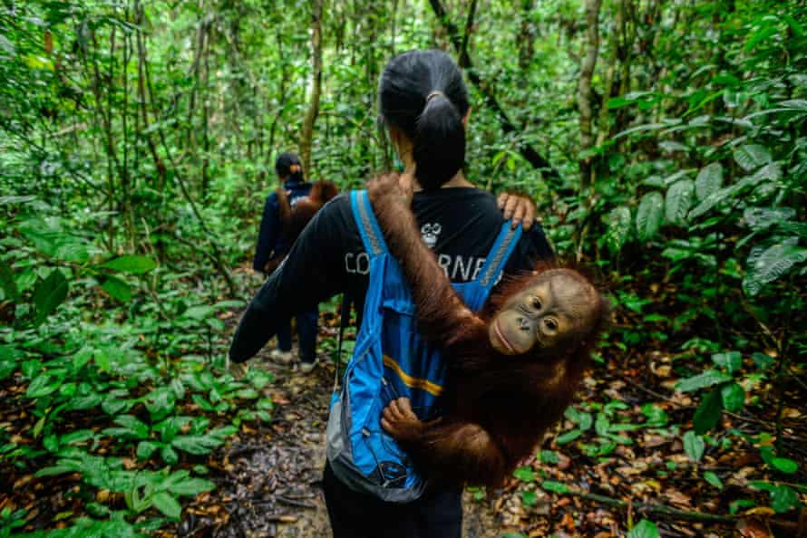 A volunteer carries a baby orangutan at the Center for Orangutan Protection in Borneo, before the centre was forced to close temporarily to minimise the spread of the virus.