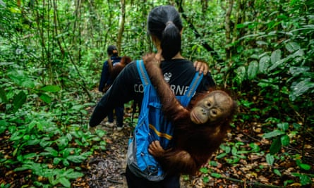Volunteers from the Centre for Orangutan Protection in Borneo hold baby orangutans.