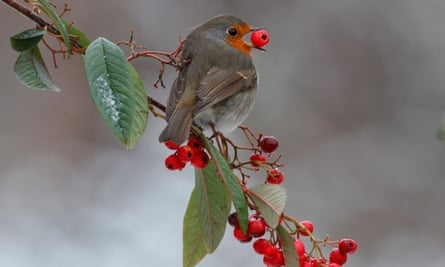 Watch the birdy: a robin gets its beak around a Cotoneaster berry.