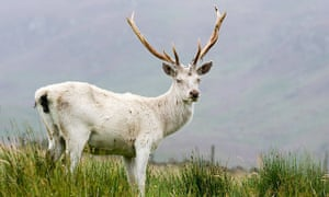 Albino red stag on Scottish moorland.