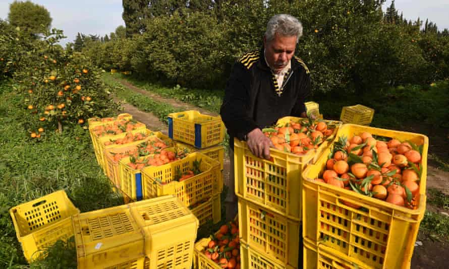 A Tunisian worker collects oranges at a farm in Menzel Bou Zelfa.