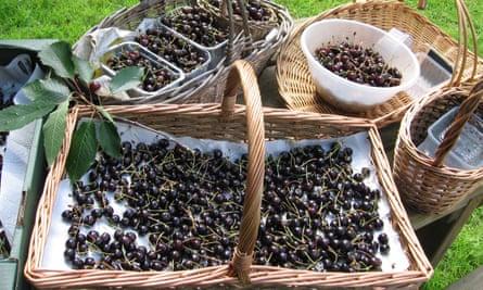Baskets of cherries
